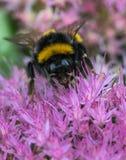 Abeja que recoge el néctar del campo de flores rosado Fotos de archivo