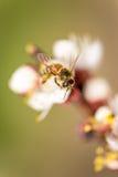 Abeja que recoge el néctar del flor Imágenes de archivo libres de regalías