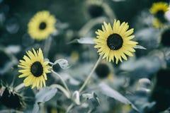 Abeja que recoge el néctar del girasol en día de verano brillante, tiro entonado Imágenes de archivo libres de regalías