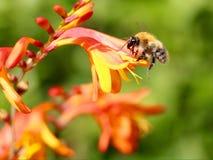Abeja que recoge el néctar del polen Imágenes de archivo libres de regalías
