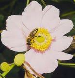 Abeja que recoge el néctar dentro de una flor Imagen de archivo