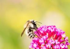 Abeja que recoge el néctar en el flor del buddleia Fotos de archivo libres de regalías