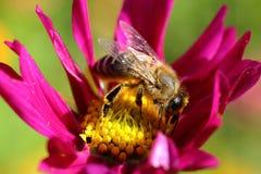 Abeja que recoge el néctar en el primer de la flor en un día soleado Fotografía de archivo libre de regalías