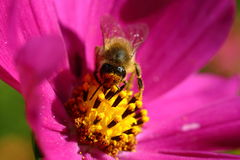 Abeja que recoge el néctar en el primer de la flor en un día soleado Imágenes de archivo libres de regalías
