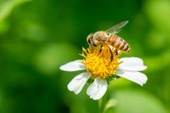 Abeja que recoge el néctar en la flor del pilosa del Bidens Imagenes de archivo