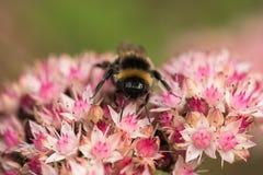 abeja que recoge el néctar en las flores hermosas Imagen de archivo
