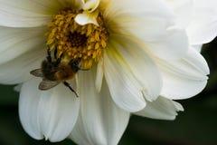 abeja que recoge el néctar en las flores hermosas Imagenes de archivo