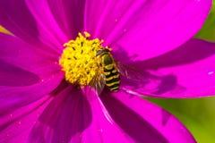 abeja que recoge el néctar en las flores hermosas Fotos de archivo