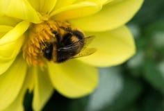 abeja que recoge el néctar en las flores hermosas Fotos de archivo libres de regalías