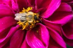 abeja que recoge el néctar en las flores hermosas Fotografía de archivo libre de regalías