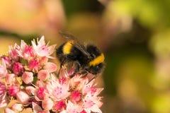 abeja que recoge el néctar en las flores hermosas Imágenes de archivo libres de regalías