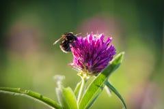 Abeja que recoge el néctar en el trébol rosado Fotografía de archivo libre de regalías