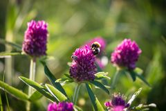 Abeja que recoge el néctar en el trébol rosado Fotos de archivo