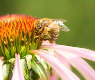 Abeja que recoge el néctar en un flor del conflower Imagen de archivo libre de regalías