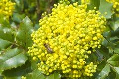 Abeja que recoge el néctar en una flor amarilla Imagen de archivo