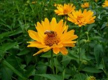 Abeja que recoge el néctar en una flor anaranjada brillante floreciente Imagen de archivo libre de regalías