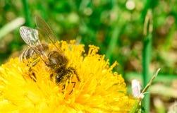 Abeja que recoge el néctar o la miel en el diente de león Foto de archivo libre de regalías