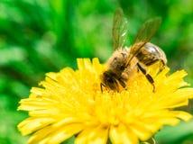 Abeja que recoge el néctar o la miel en el diente de león Fotografía de archivo