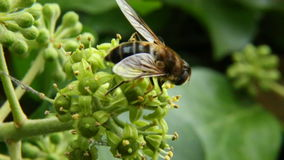 Abeja que recoge el néctar y el polen Foto de archivo libre de regalías