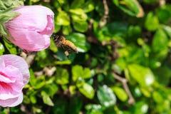 Abeja que recoge el néctar y el polen de malvarrosa rosada atractiva Foto de archivo