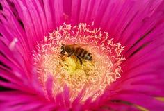 Abeja que recoge el polen Fotos de archivo