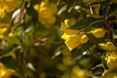 Abeja que recoge el polen. Fotos de archivo