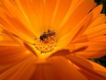 Abeja que recoge el polen Fotografía de archivo