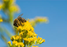 Abeja que recoge el polen Foto de archivo