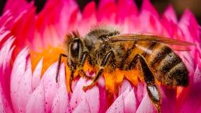 Abeja que recoge el polen Imagen de archivo libre de regalías