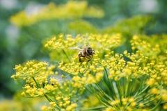 Abeja que recoge el polen Foto de archivo libre de regalías