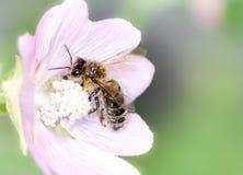 Abeja que recoge el polen Fotografía de archivo libre de regalías