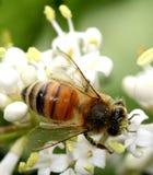Abeja que recoge el polen Imágenes de archivo libres de regalías