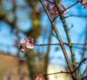 Abeja que recoge el polen de arbusto floreciente Fotos de archivo libres de regalías
