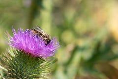 Abeja que recoge el polen de cardo imagenes de archivo