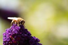 Abeja que recoge el polen de cardo Foto de archivo