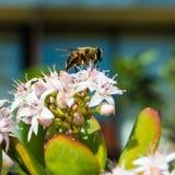 Abeja que recoge el polen de Jade Plant en Madeira Imágenes de archivo libres de regalías
