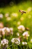 Abeja que recoge el polen de la flor Fotos de archivo
