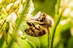 Abeja que recoge el polen de la flor Foto de archivo libre de regalías