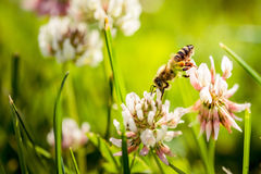 Abeja que recoge el polen de la flor Imagenes de archivo