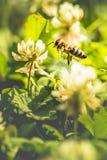 Abeja que recoge el polen de la flor Fotografía de archivo