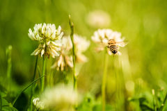 Abeja que recoge el polen de la flor Fotos de archivo libres de regalías
