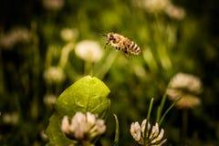 Abeja que recoge el polen de la flor Foto de archivo
