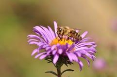 Abeja que recoge el polen de la flor púrpura Foto de archivo libre de regalías