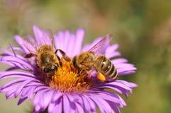 Abeja que recoge el polen de la flor púrpura Fotos de archivo libres de regalías