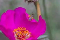 Abeja que recoge el polen de la flor púrpura del jardín Fotos de archivo libres de regalías