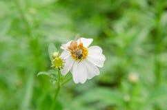 Abeja que recoge el polen de las flores blancas Fotografía de archivo libre de regalías