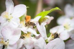 Abeja que recoge el polen de las flores de los manzanos Imagen de archivo libre de regalías