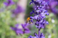Abeja que recoge el polen de las flores púrpuras Fotografía de archivo