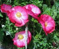 Abeja que recoge el polen de las flores rosadas de la amapola Fotos de archivo