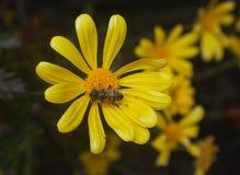 Abeja que recoge el polen de tiro de la macro de la margarita Imagen de archivo